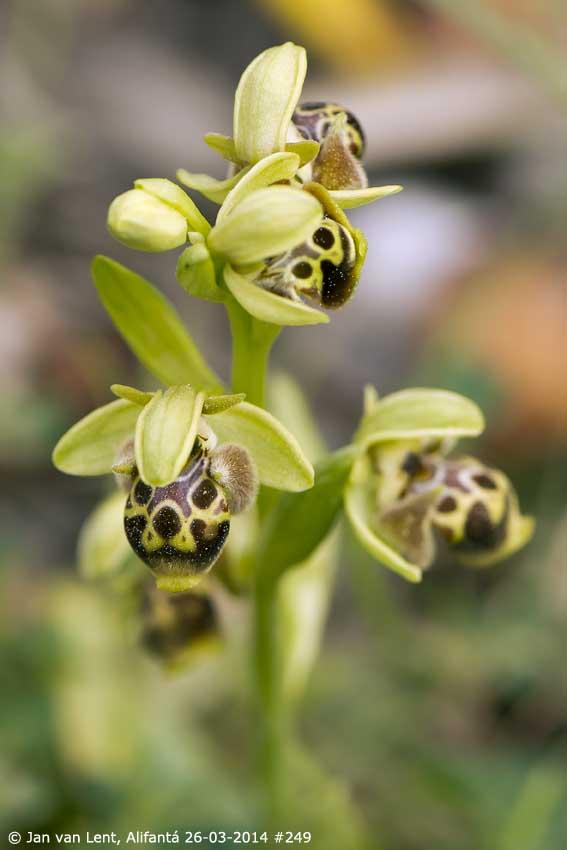 Ophrys umbilicata-attica, Alifantá © Jan van Lent 26-03-2014 #249