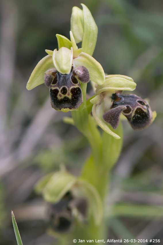 Ophrys attica-bucephala, Alifantá © Jan van Lent 26-03-2014 #256