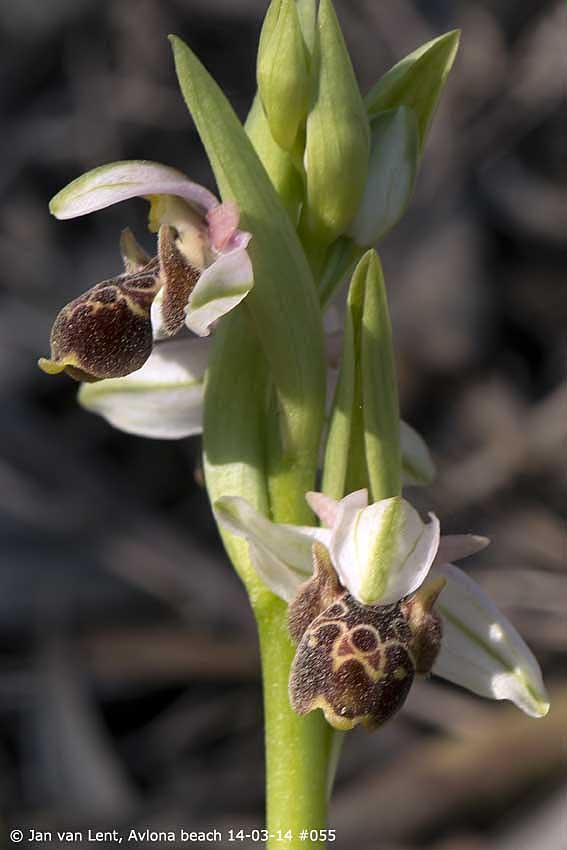 Ophrys umbilicata Avlona beach © Jan van Lent, 14-03-14 #055