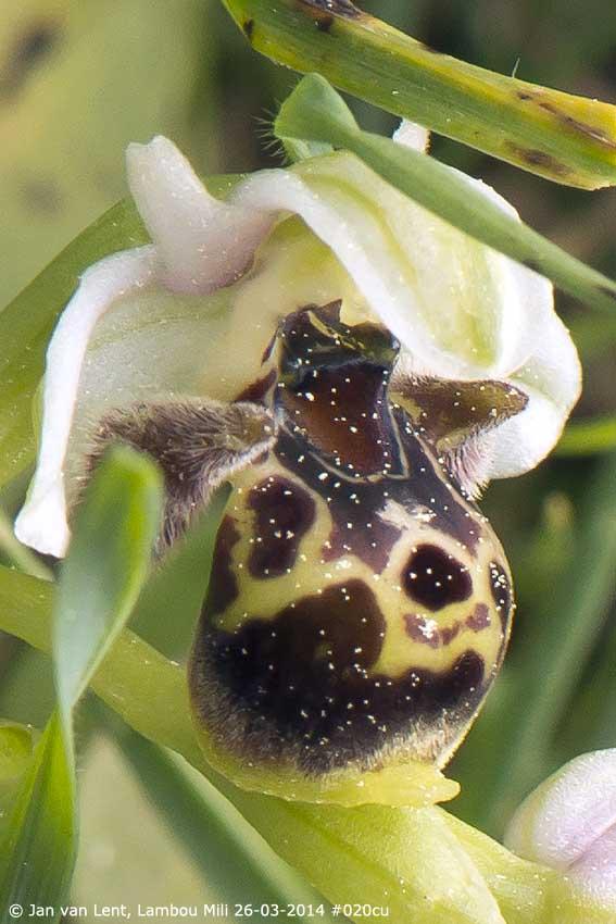 Ophrys umbilicata, Lambou Mili © Jan van Lent 26-03-14 #020cu
