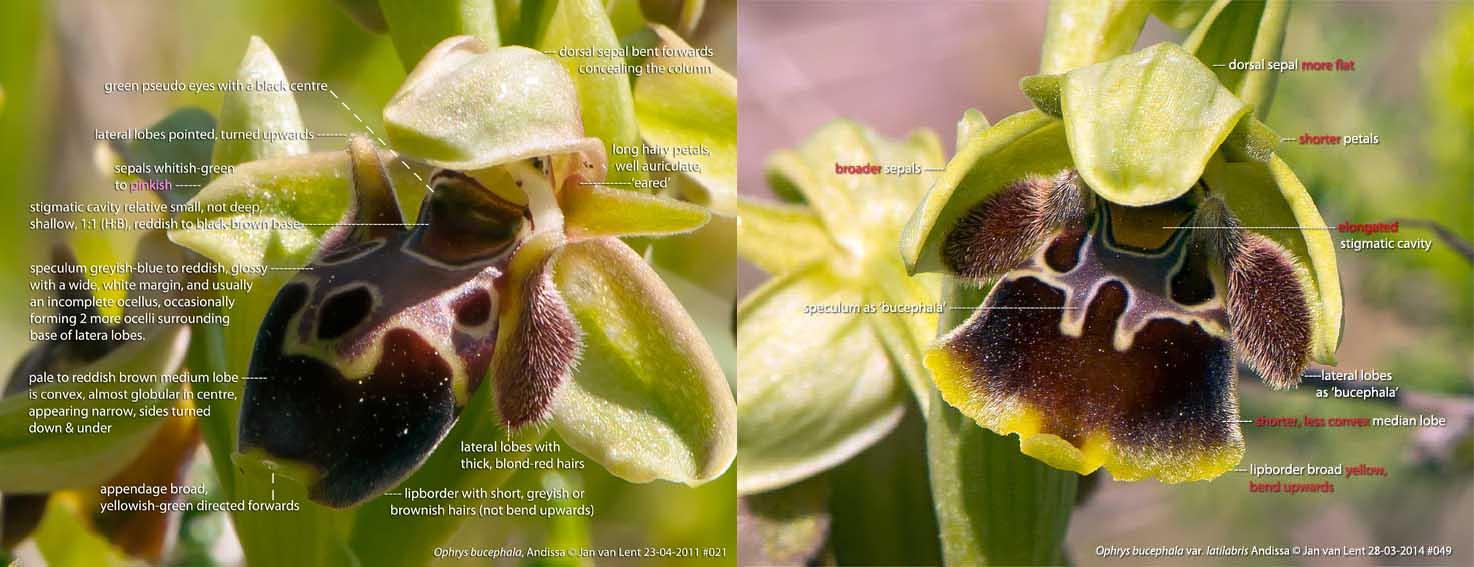 O. bucephala 23-04-11 #021 & O. bucephala var. latilabris, Andissa corner 28-03-14 #049 © Jan van Lent