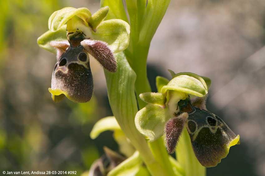 Ophrys bucephala, Andissa © Jan van Lent 28-03-2014 #092