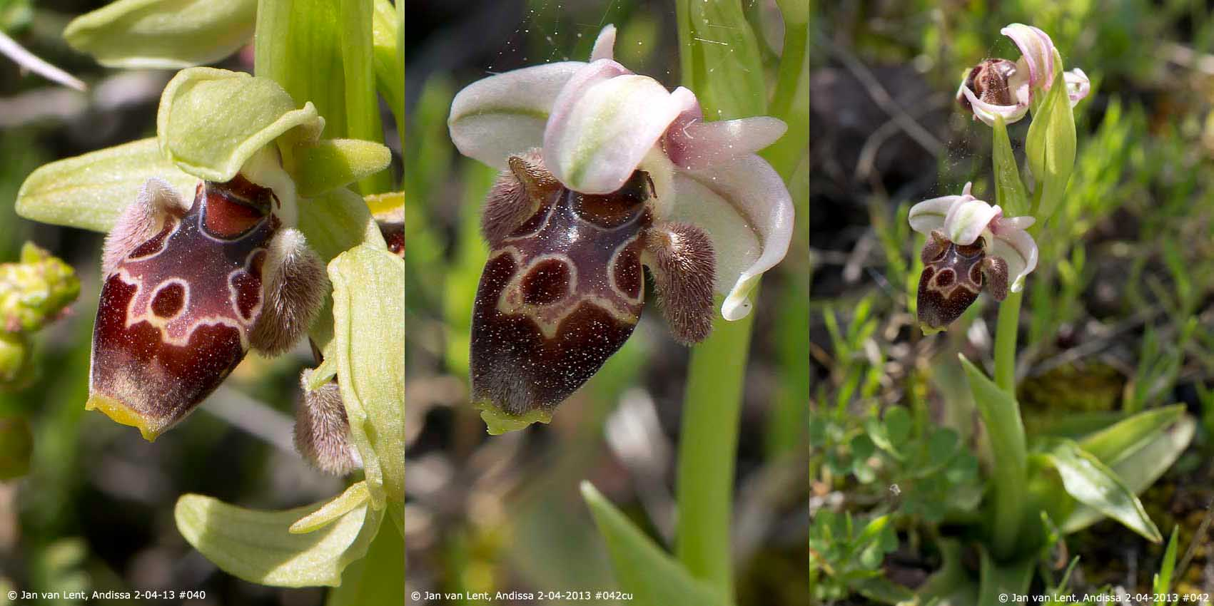 Ophrys bucephala, Andissa © Jan van Lent 2-04-2013 #040 #042cu, #042