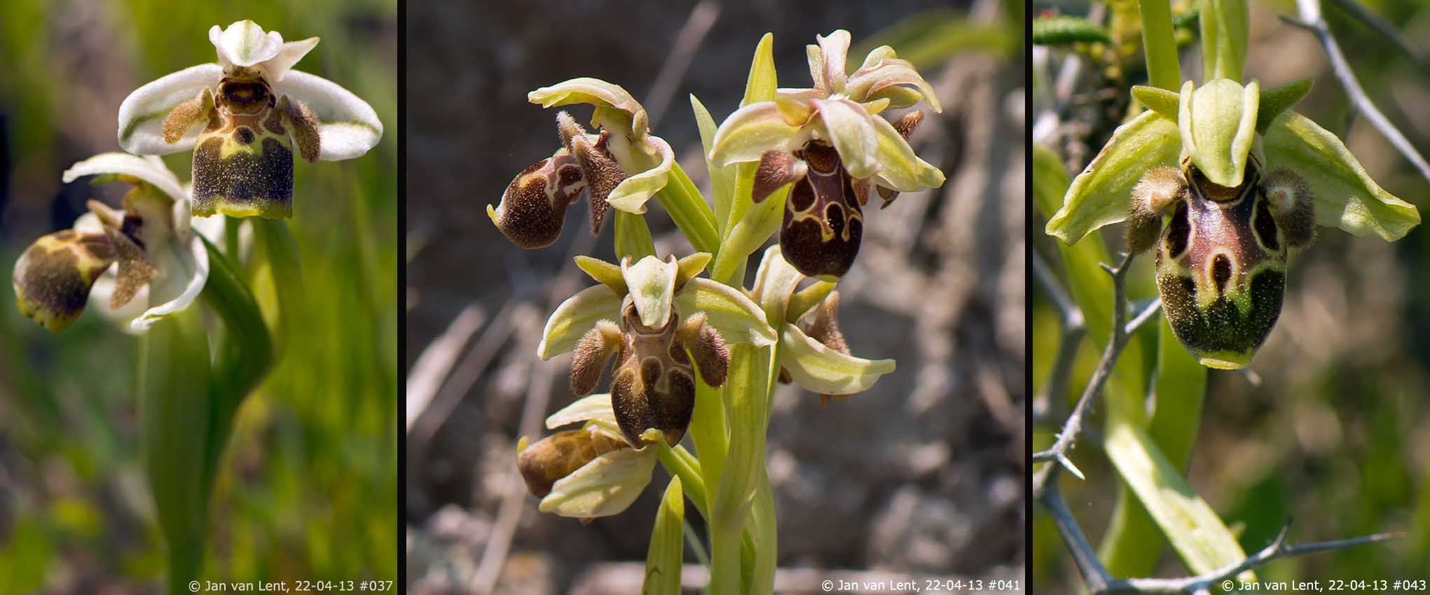 Ophrys bucephala, Andissa © Jan van Lent 22-04-2013 #037, #041, #043