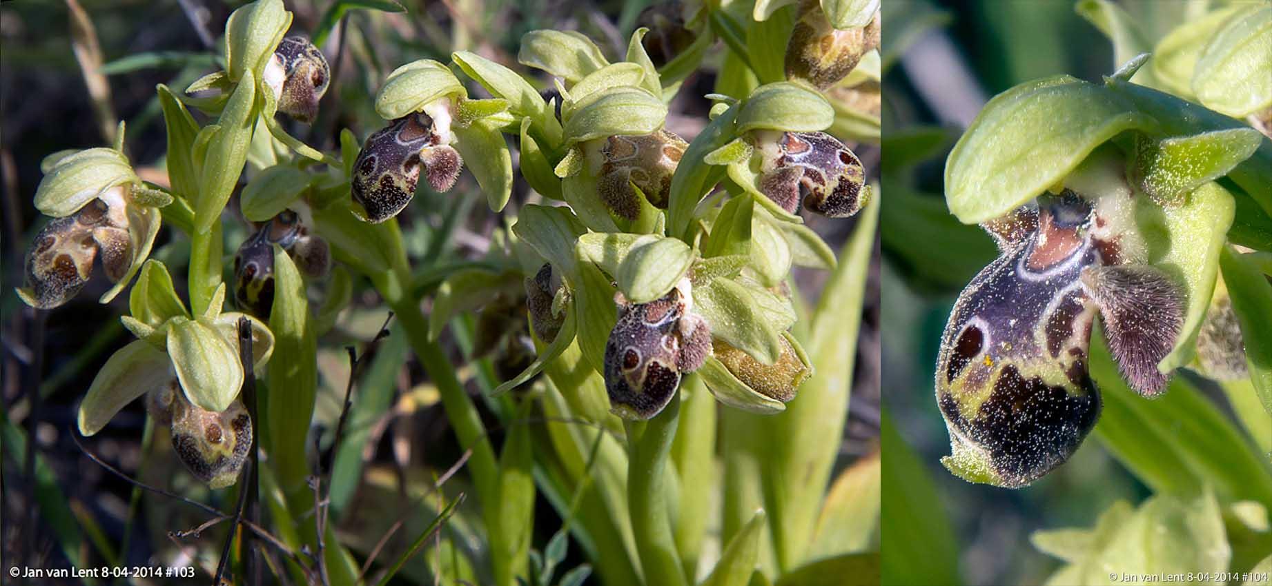 Ophrys bucephala, Spides © Jan van Lent 8-04-2014 #103 & 104