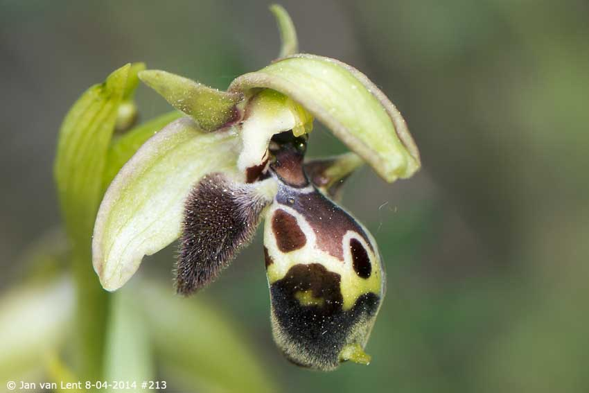 Ophrys bucephala, up from Melinda, © Jan van Lent 8-04-2014 #213