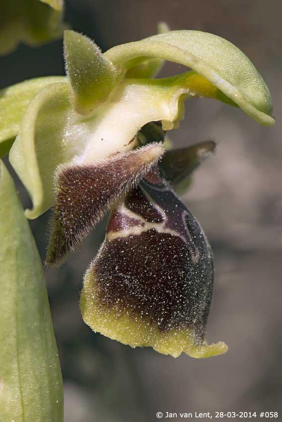 Ophrys bucephala var. latilabris, Andissa © Jan van Lent 28-03-2014 #058