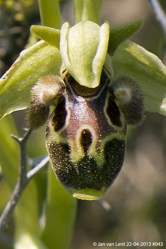 Ophrys bucephala, Andissa © Jan van Lent 22-04-2013 #043