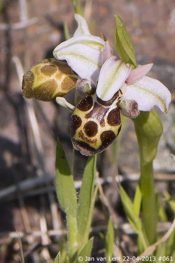 Ophrys bucephala, Andissa © Jan van Lent 22-04-2013 #061