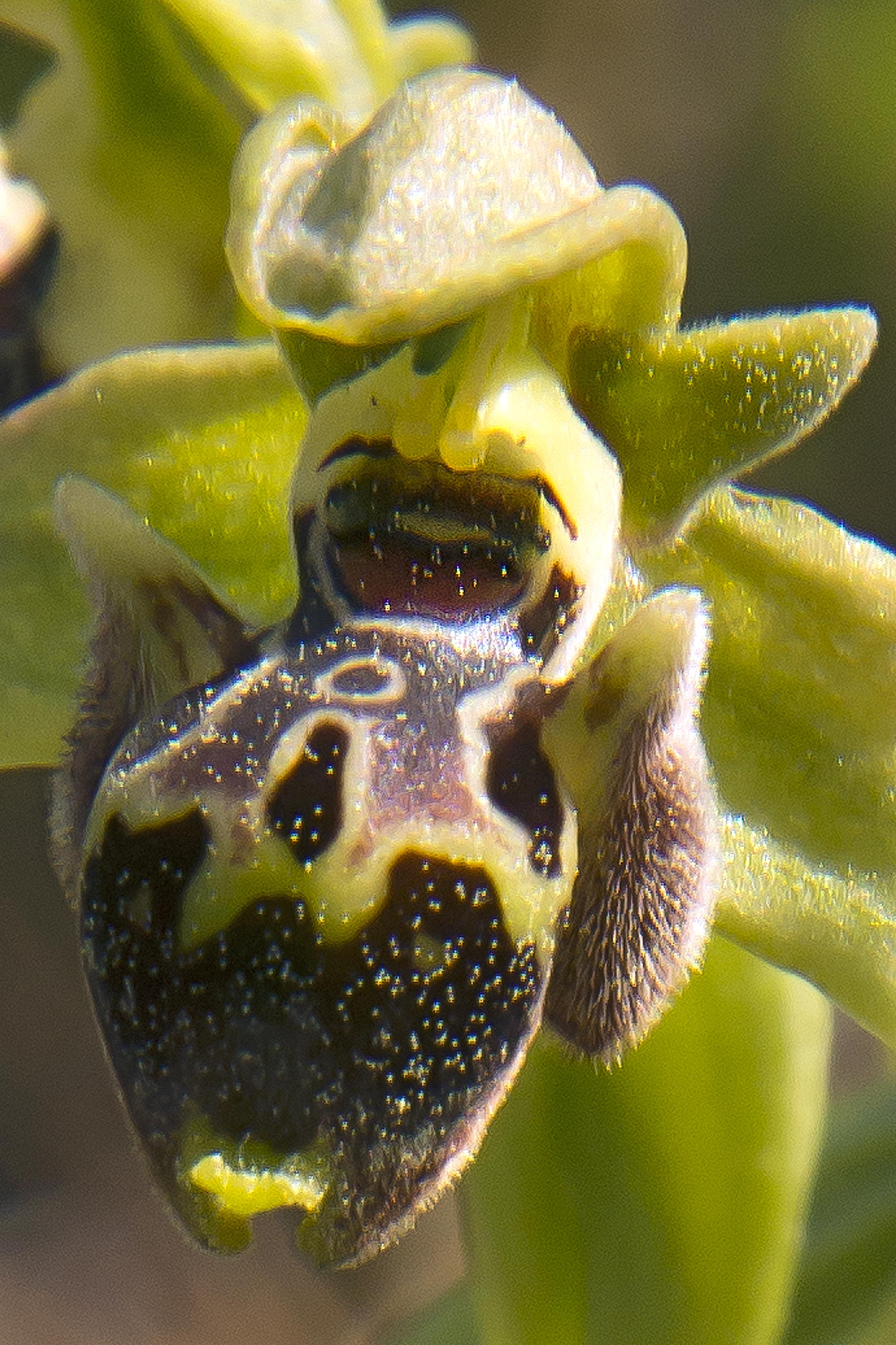 Ophrys bucephala, Spides © Jan van Lent 8-04-2014 #101