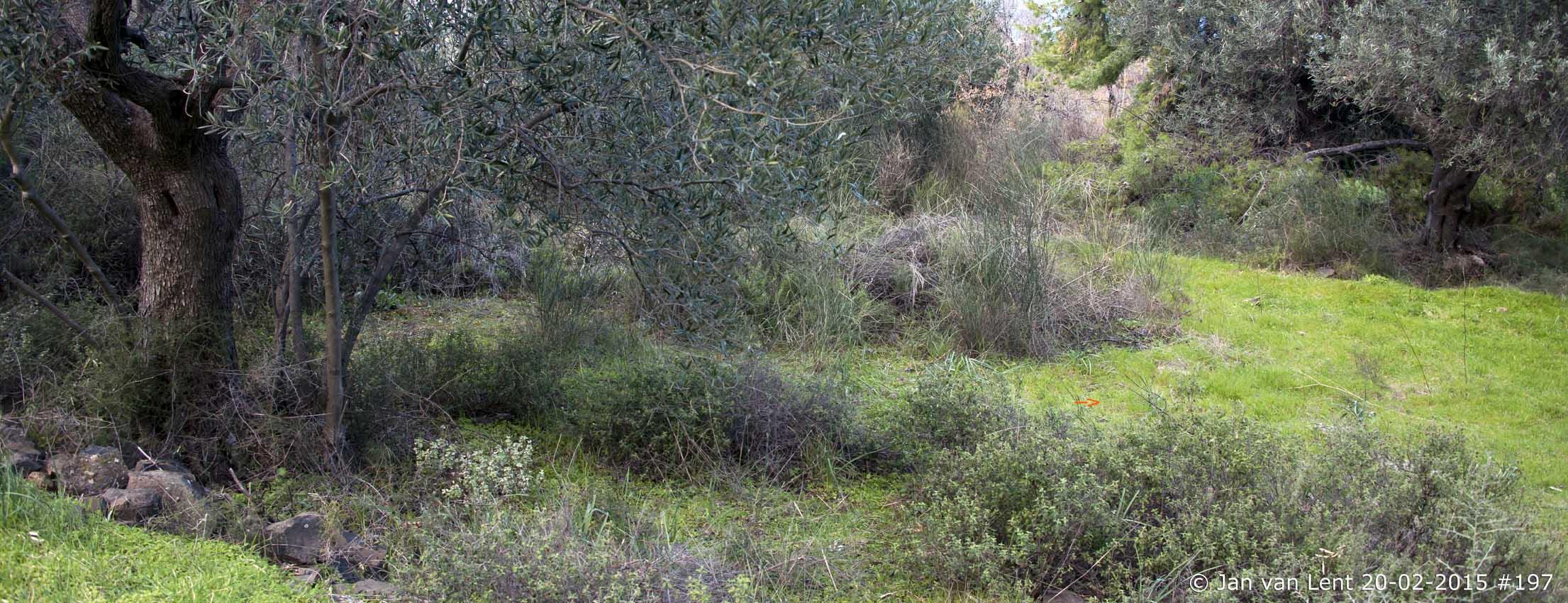 Habitat 1e Ophrys sicula Eftalou © Jan van Lent, 20-02-2015 #197