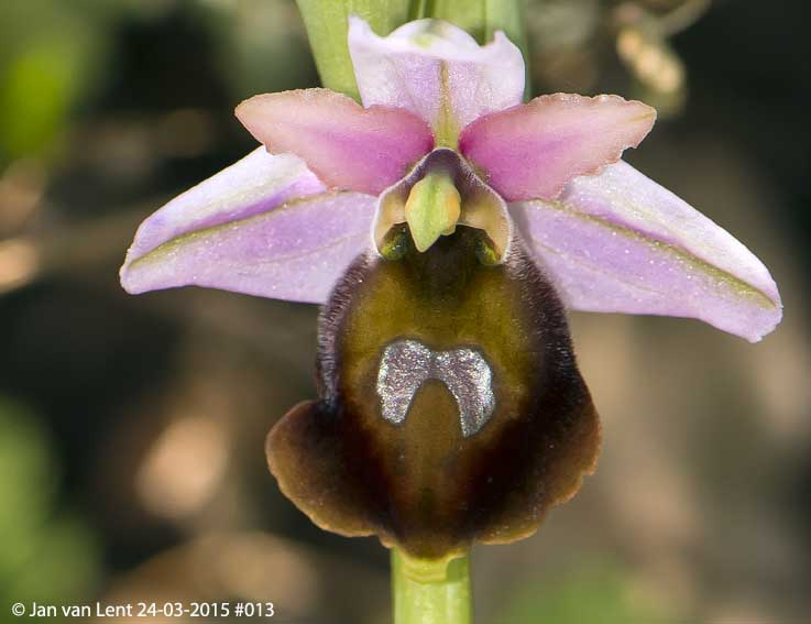 Ophrys lesbis, road to Gavathas © Jan van Lent 24-03-2015 #013