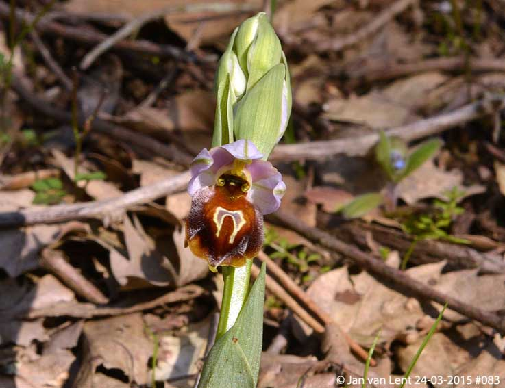 Ophrys lesbis, Mt. Fouga © Jan van Lent 24-03-2015 #083