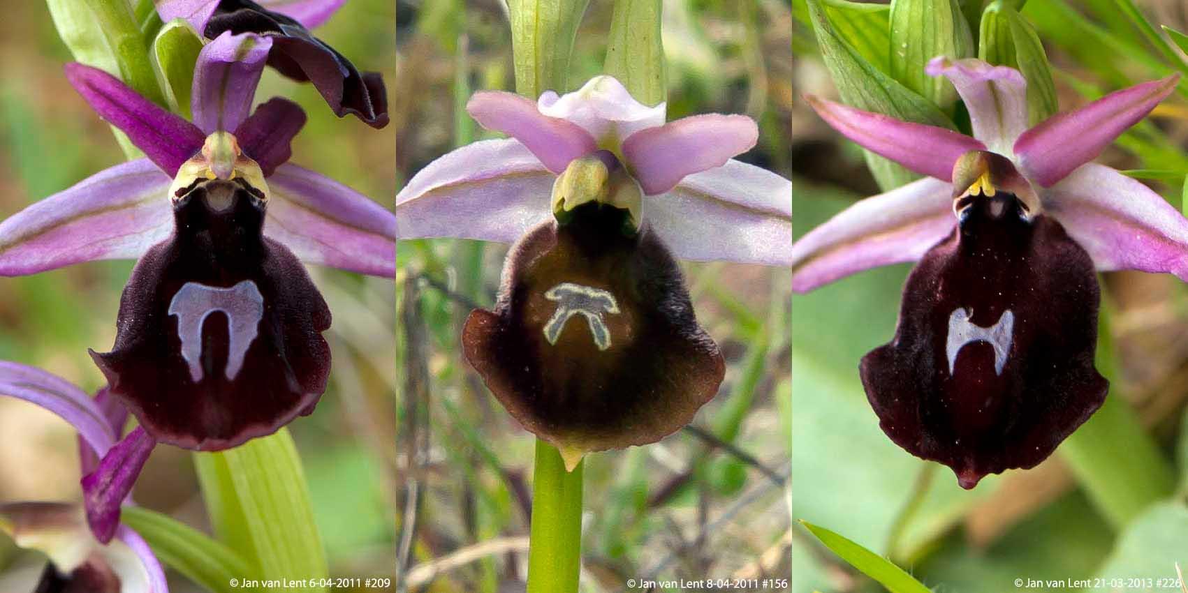 O.ferrum-equinum, Anemomilos 6-04-11 #209. O.lesbis, Andissa 8-04-11 #156.  O.labiosa, Alifantá 21-03-13 #226