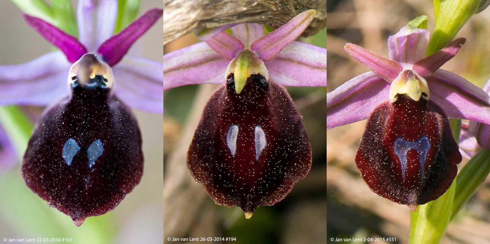 3x Ophrys ferrum-equinum; Mt. Spathi 22-3-10 #163; Alifantá 26-3-14 #194; Plati, 2-4-15
