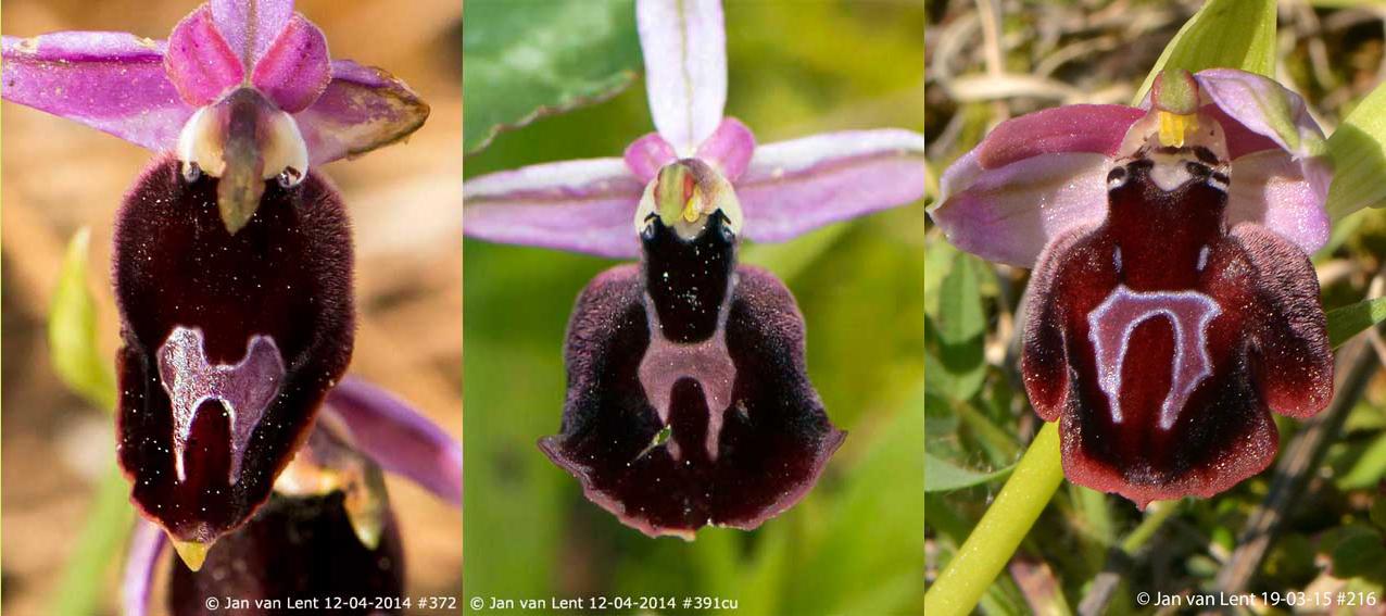 var. gottfriediana & var. grigoriana (Mt.Palamas-Mt. Spathi, 12-4-14), var. subtriloba (Pyrgi, 19-3-15)