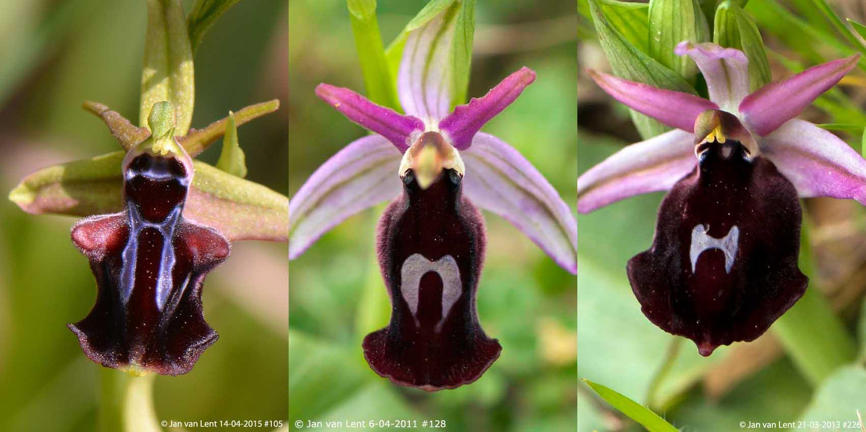 Oph. mammosa (Pyrgi 14-4-15 #105), labiosa (Anemomilos 6-4-11 #128) & f-e (Alifantá 21-3-13 #226)