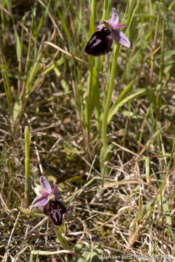 Oph. ferrum-equinum var. subtriloba? No, Ophrys spruneri! Pyrgi © Jan van Lent 10-04-2014 #096