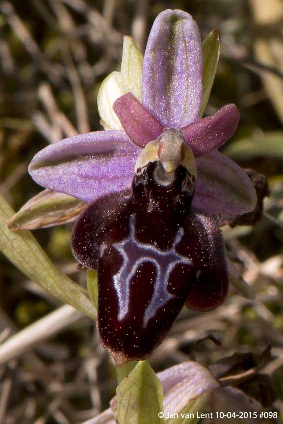 Oph. ferrum-equinum var. subtriloba? No, Ophrys spruneri! Pyrgi © Jan van Lent 10-04-2014 #098