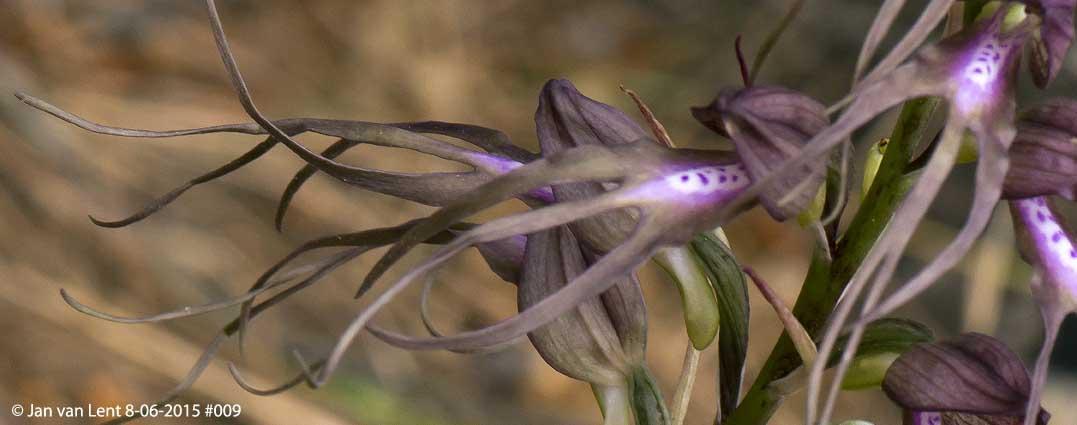 Same Himantoglossum x agiasense, Sanatorio corner. © Jan van Lent 8-06-2015 #009, upper flowers