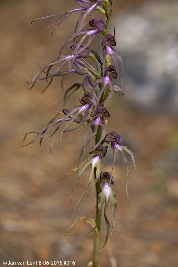 Himantoglossum x agiasense, Sanatorio corner. © Jan van Lent 8-6-15 #016