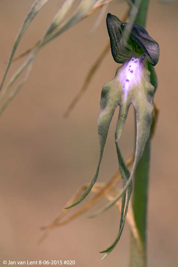 Himantoglossum x agiasense, Sanatorio corner. © Jan van Lent 8-6-15 #020