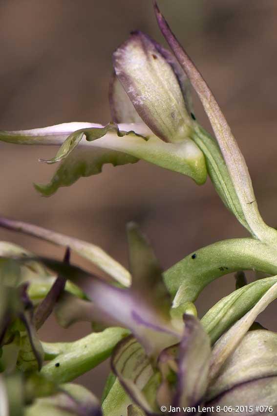 Himantoglossum montis-tauri, Sanatorio corner. © Jan van Lent 8-6-15 #076