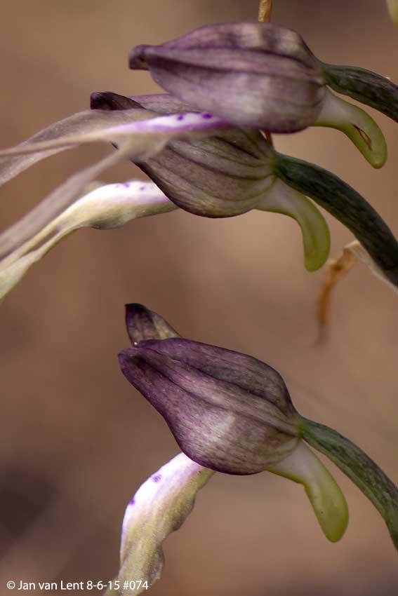 Himantoglossum x agiasense, Sanatorio corner. © Jan van Lent 8-6-15 #074