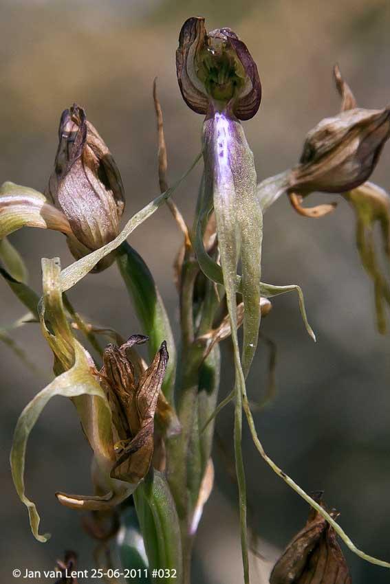 Himantoglossum x agiasense, Sanatorio corner. © Jan van Lent 25-06-2011 #032