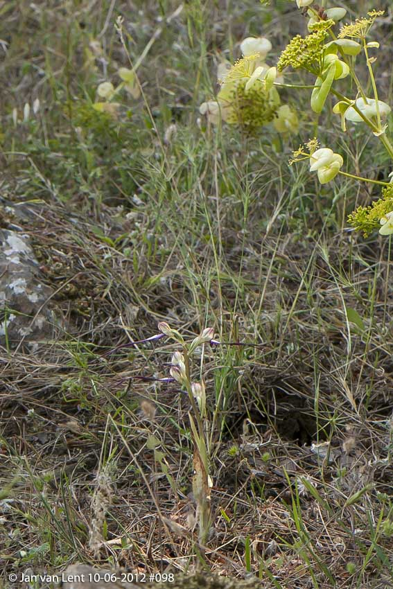 Himantoglossum caprinum? Sanatorio corner. © Jan van Lent 10-06-2012 #098