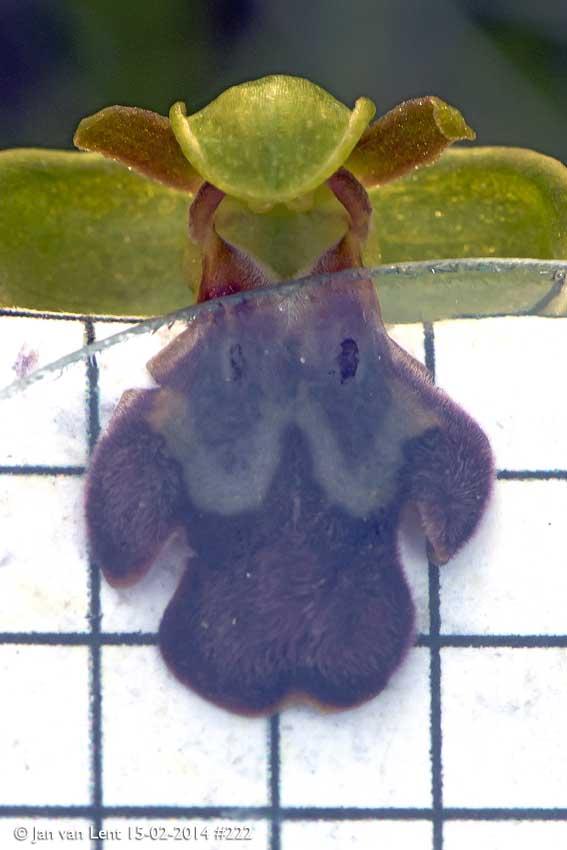 Same Ophrys sancti-isidorii 2014, Aspros Glaros, © Jan van Lent 15-02-2014 #222