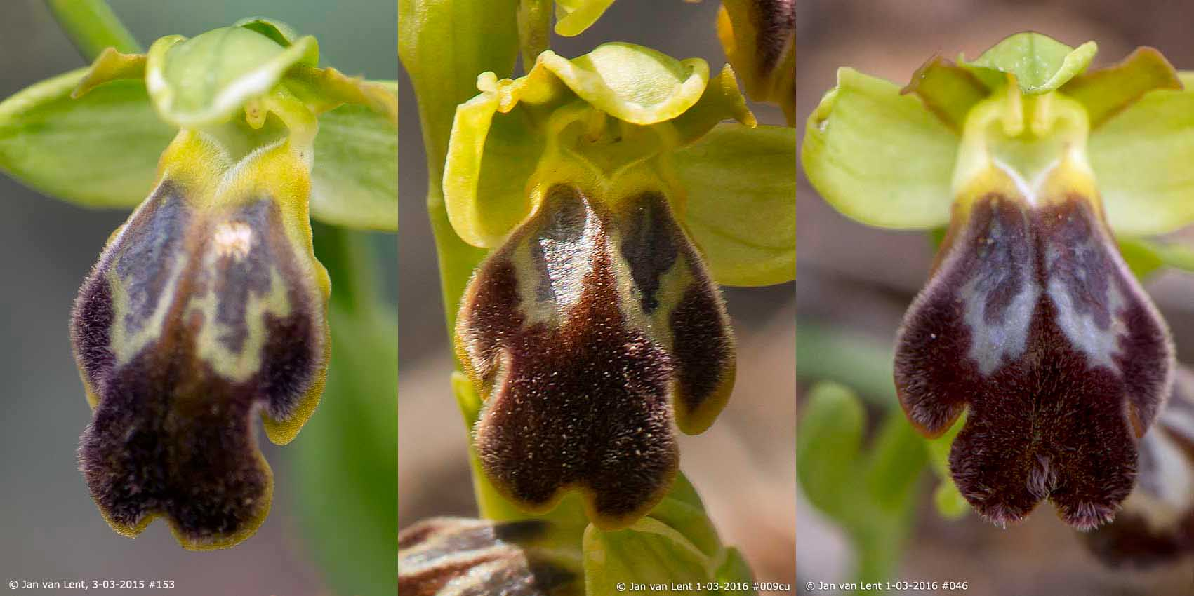 Ophrys cesmeensis Febr- March 2015-2016, Loutropoli-Thermi, © Jan van Lent.