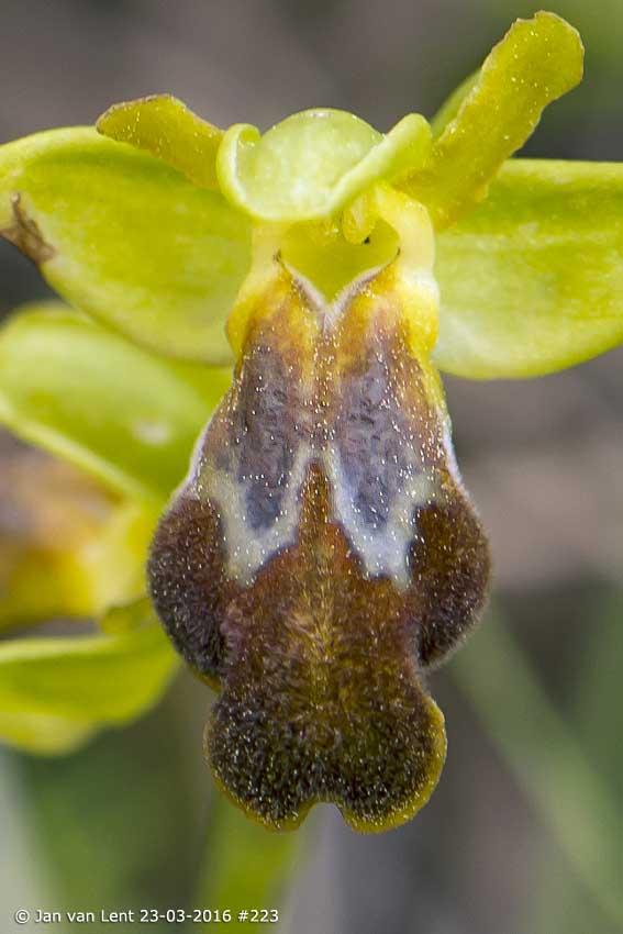 Ophrys cesmeensis, L-Thermi  © Jan van Lent 23-03-2016 #223