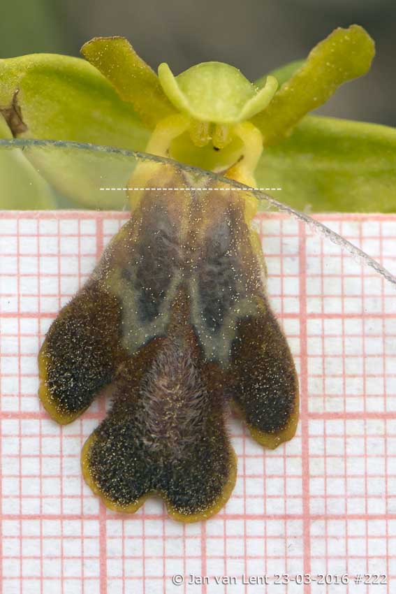 Ophrys cesmeensis, LipL16,5mm, L-Thermi  © Jan van Lent 23-03-2016 #222