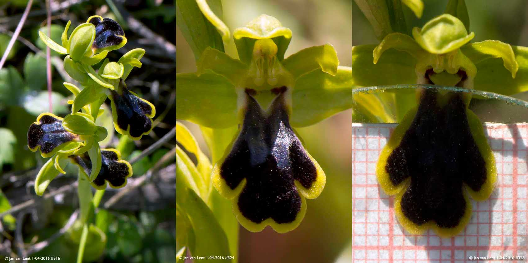 Ophrys persephonae or urteae? Avlona, © Jan van Lent 1-04-2016 #316, #324, #328 LipL12.5mm